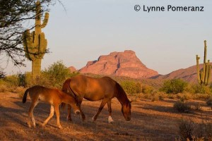 Salt River Horses, by Lynne Pomeranz, https://www.facebook.com/pages/Lynne-Pomeranz-Photographer/192531464111973