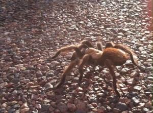 Tarantula, Round Valley, AZ
